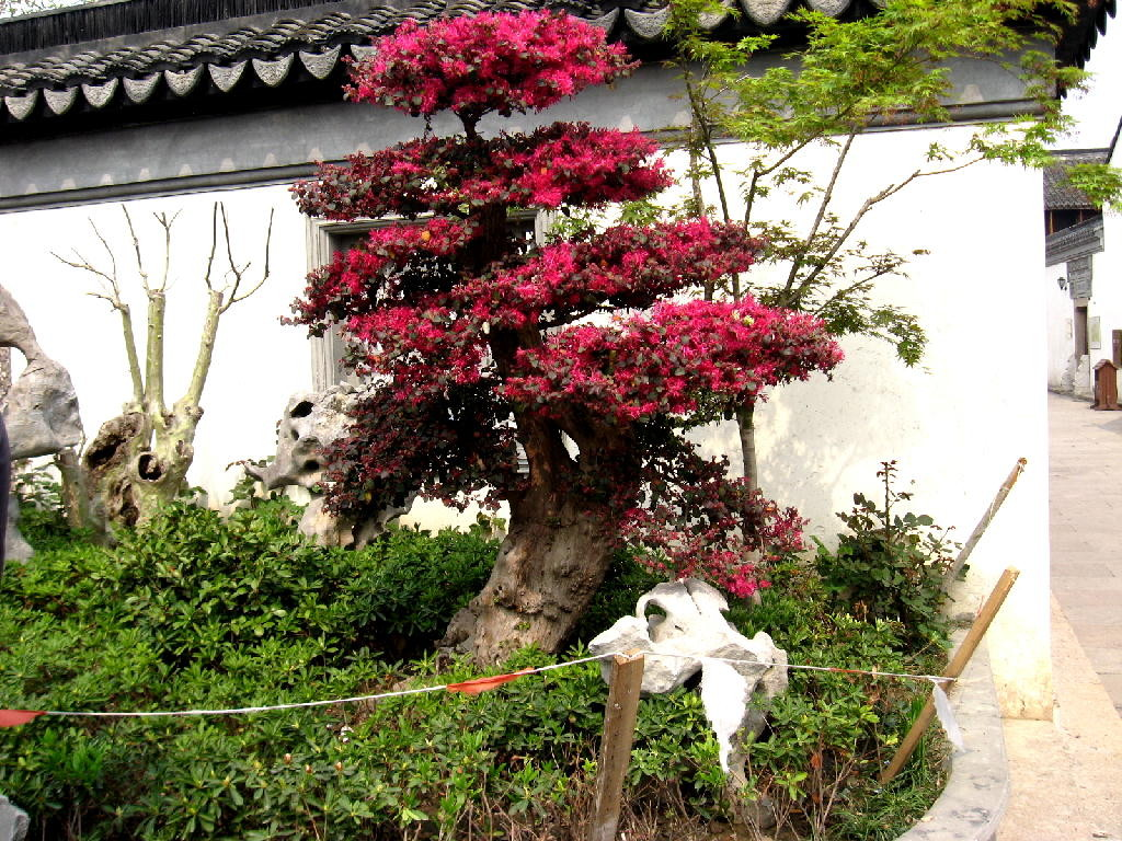 nanxiang - bonsai