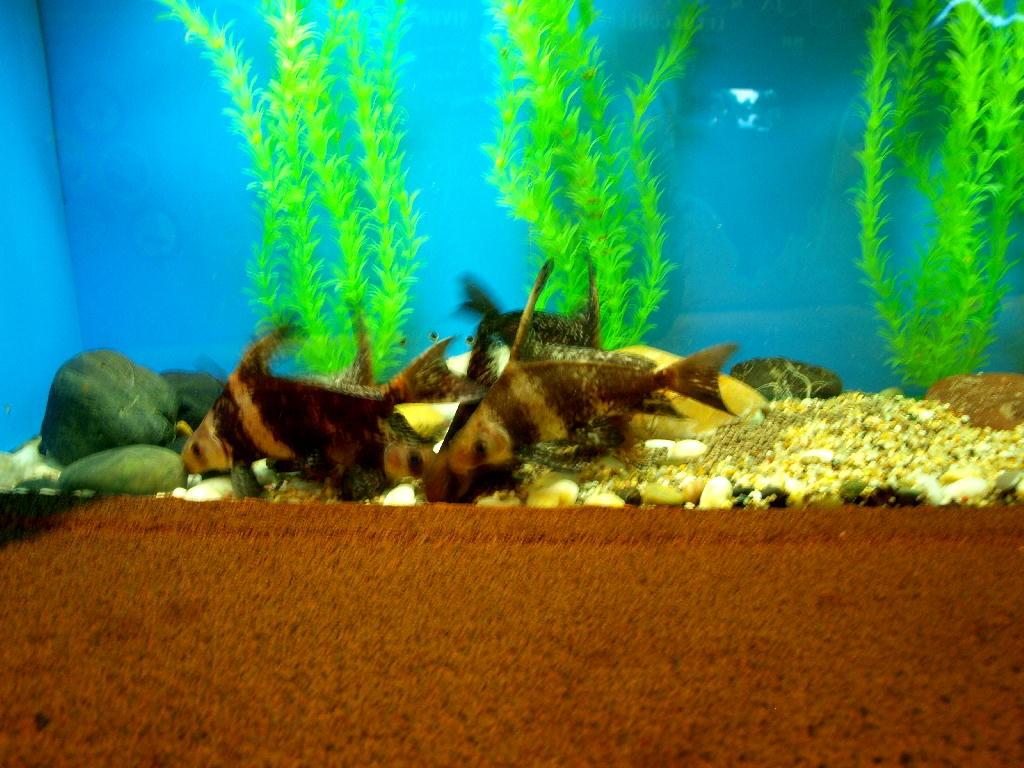 pesce giallo marrone