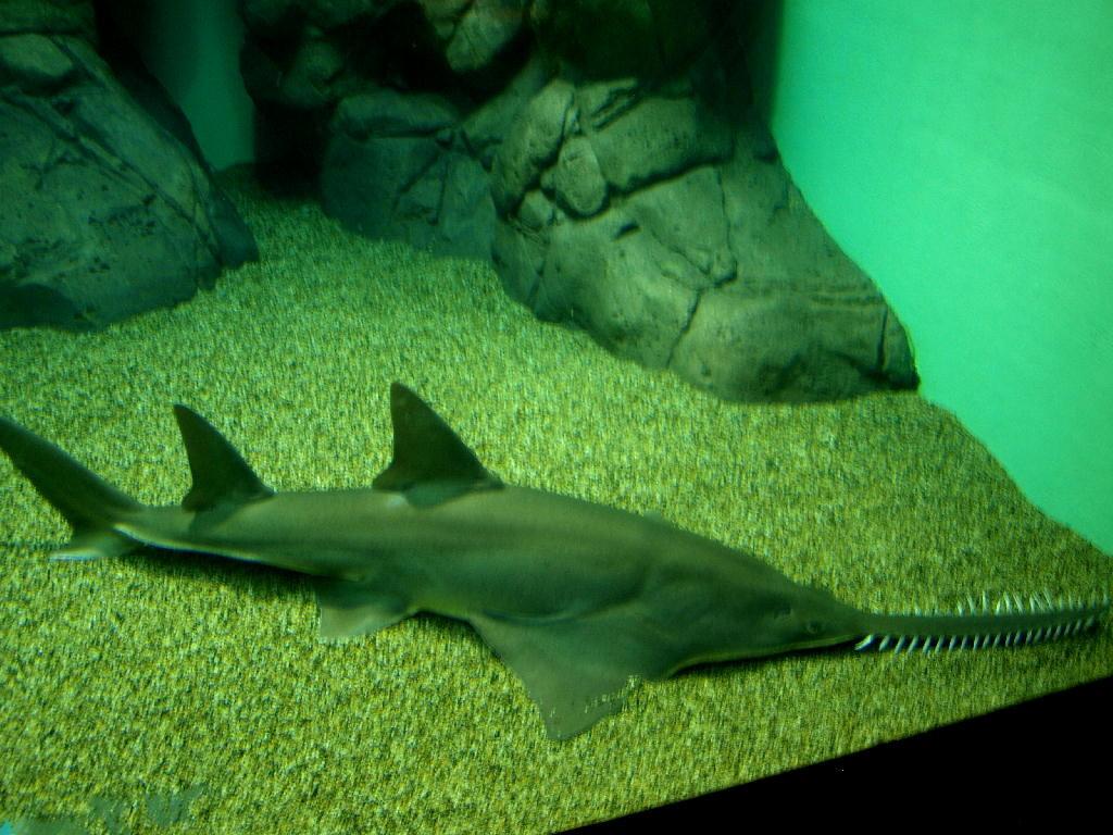 squalo sega