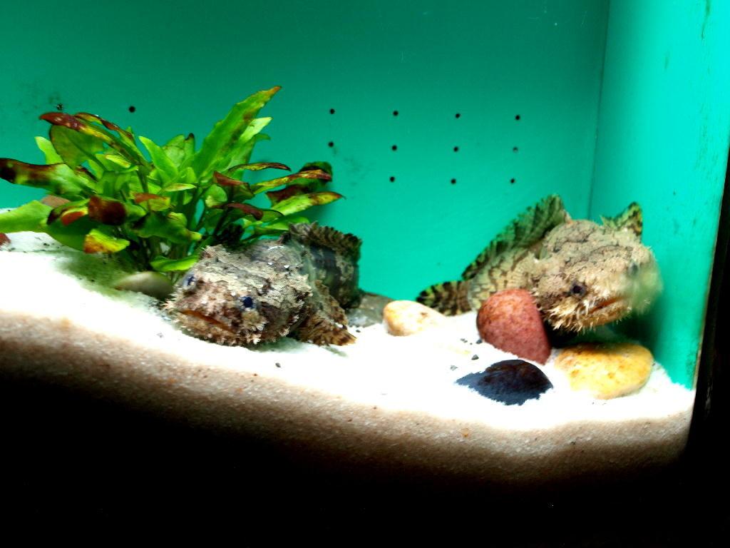 pesce rospo