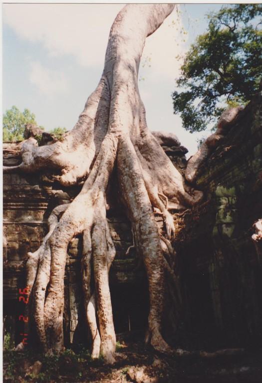 Cambogia - Angkor Thom - radici tra le rovinbe