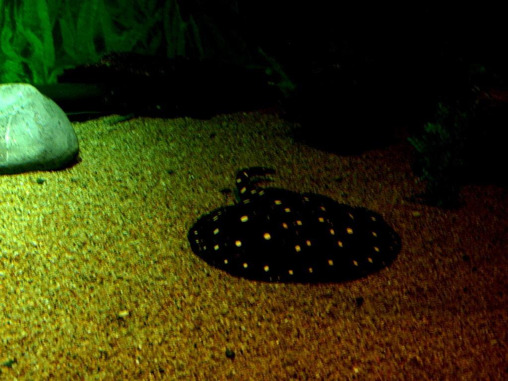 manta maculata