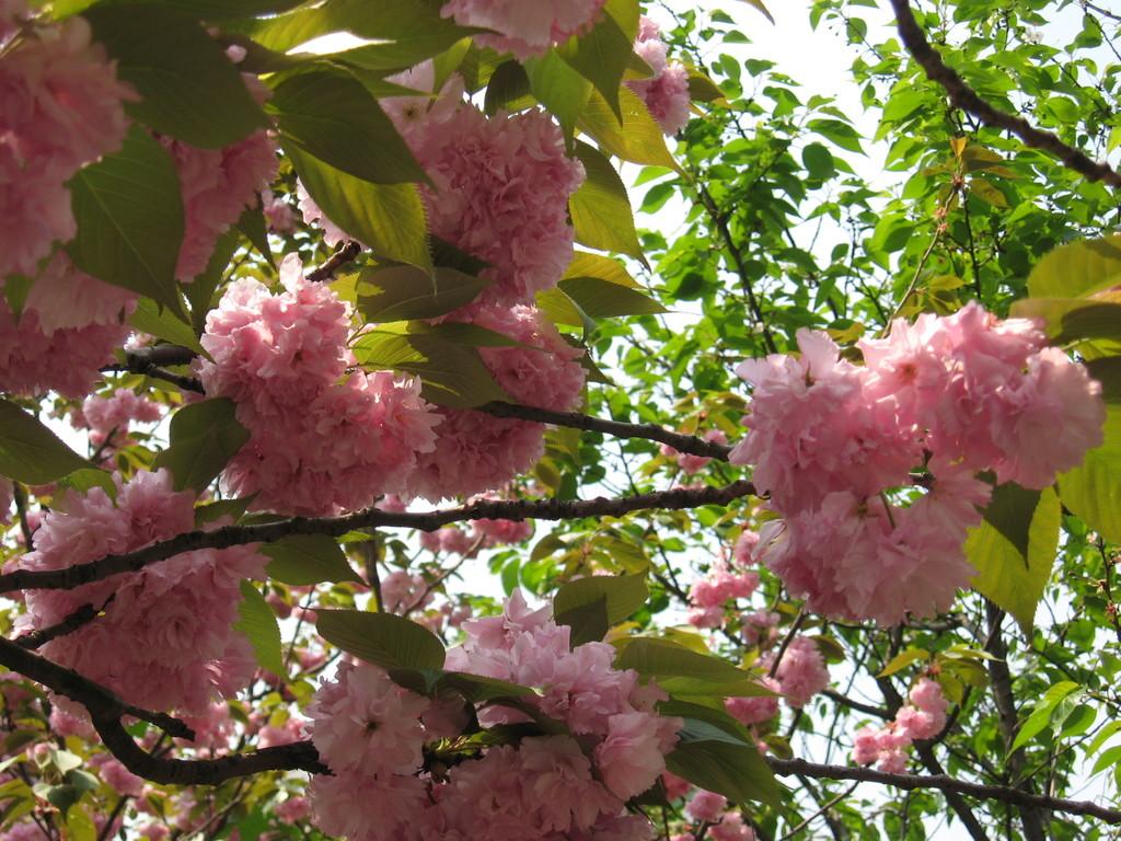 sichuan park cherry flower