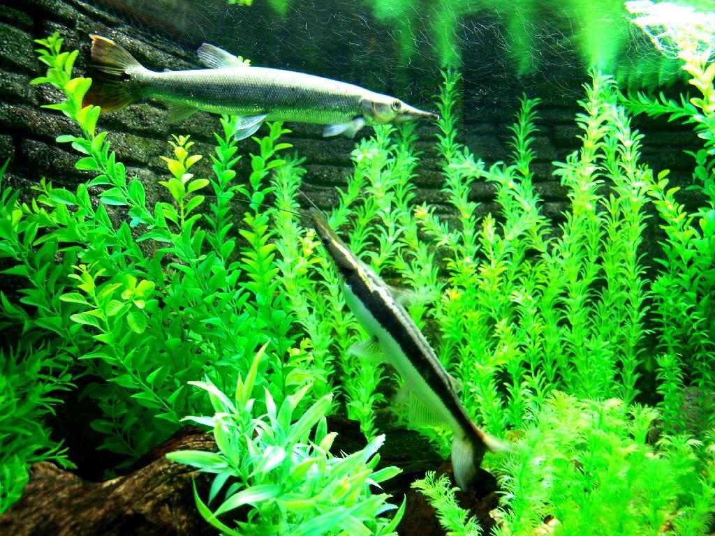 pesci siluro