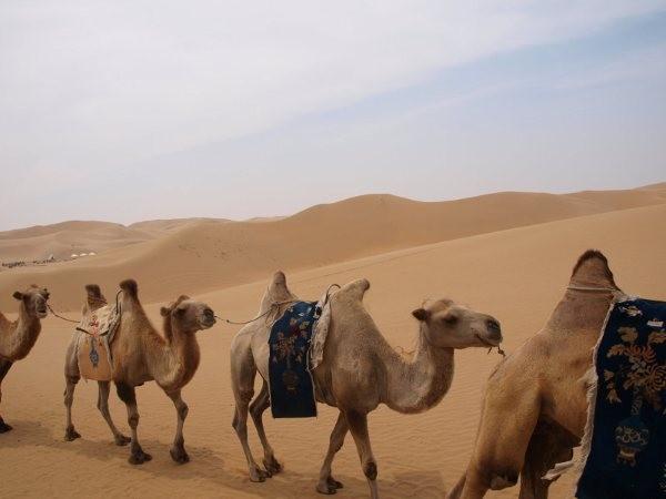 mongolia - carovana di cammelli