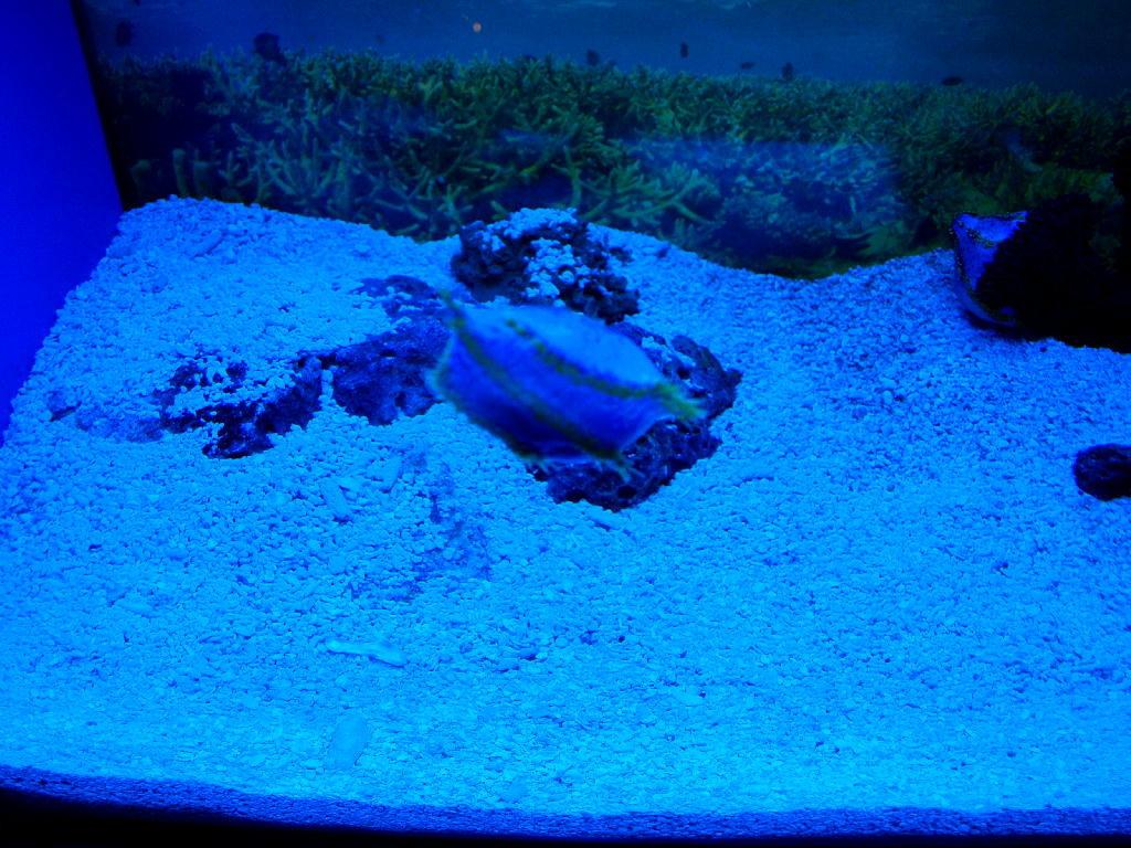 pesce blu