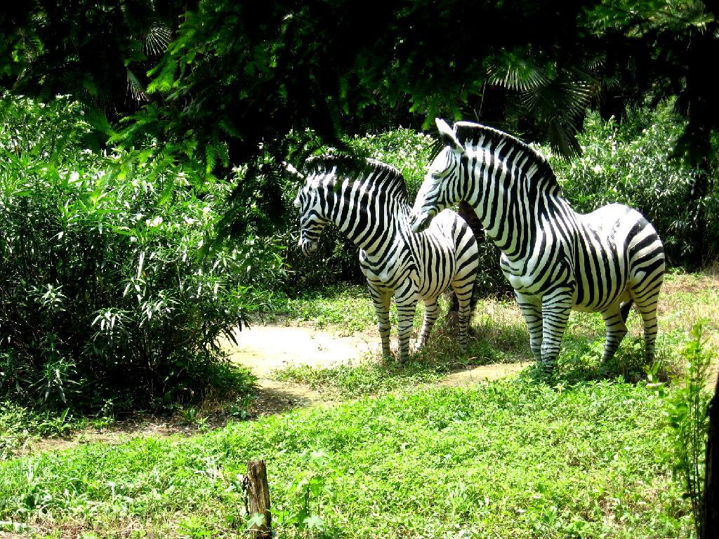 zebre ( finte )