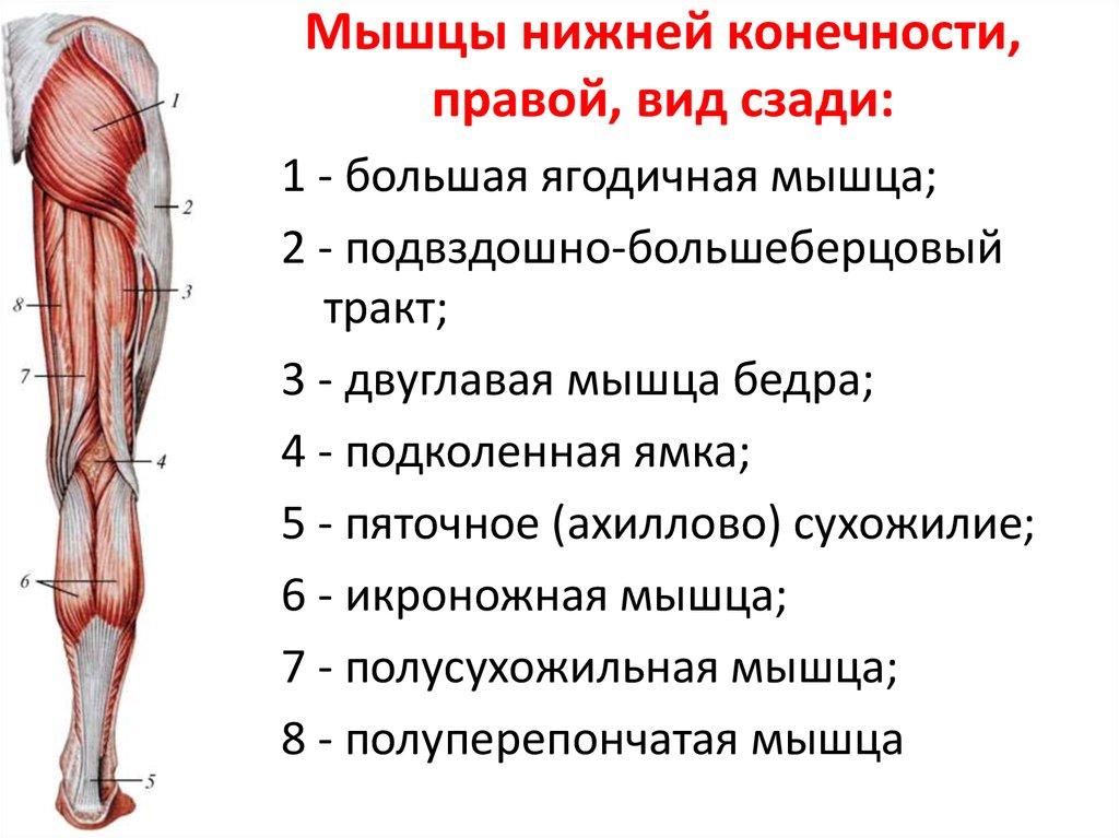 расположение мышц на ногах человека схема брюки