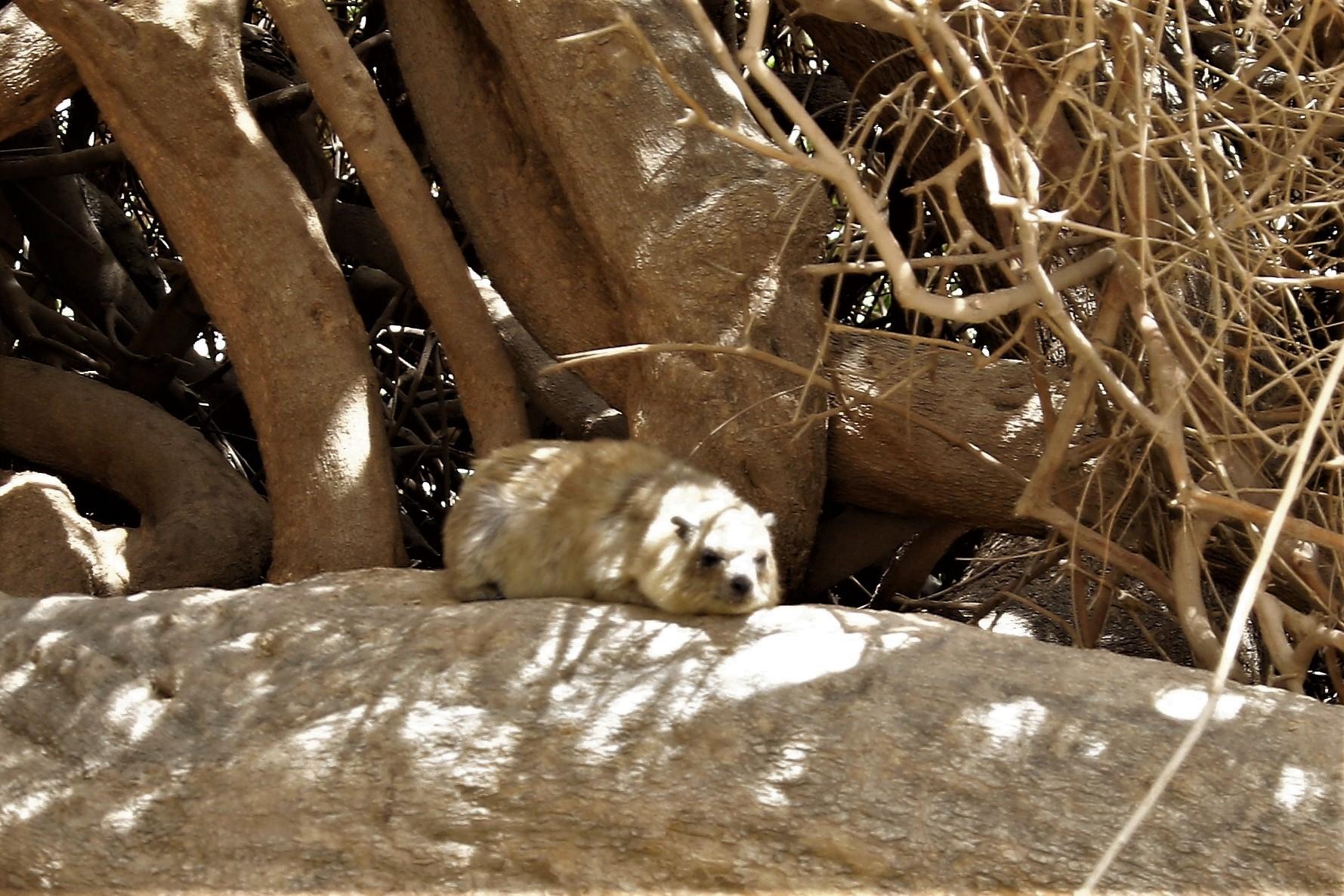 Ein süßer Klippschliefer