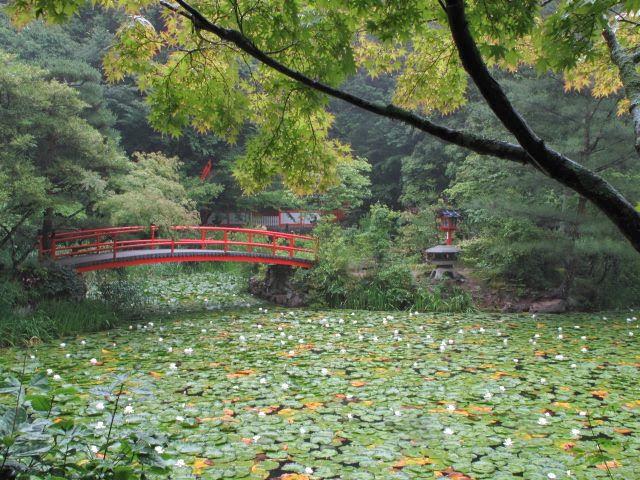 大原野神社の鯉(恋)沢の池
