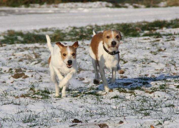 Kromfohrländer im Schnee