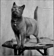 Кошка Yula привезена из России в 1901 г.