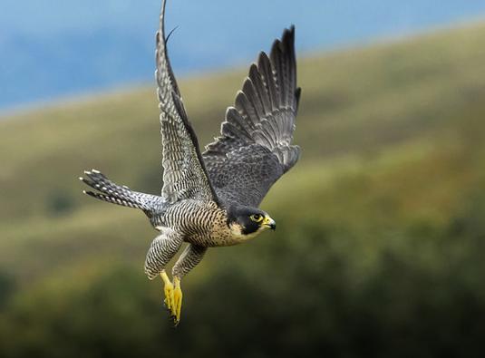 Wanderfalke schnellster Vogel der Welt mit über 300 km/h