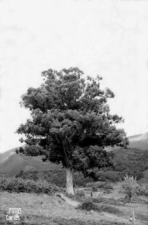 1958-Lamela-Eucalipto2-Carlos-Diaz-Gallego-asfotosdocarlos.com