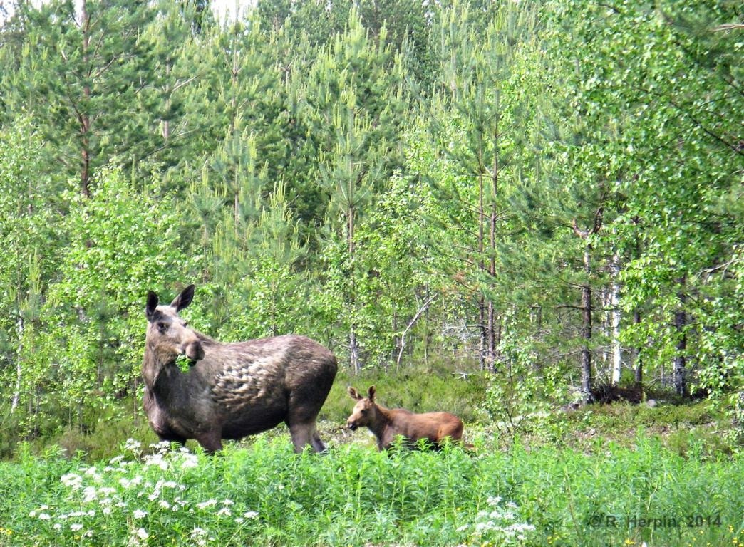 Moose mother with child
