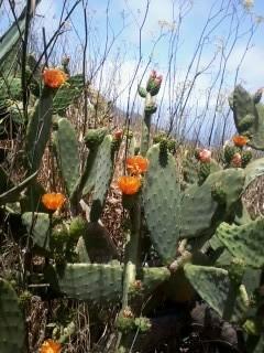 Kaktus flowers, Tenerife