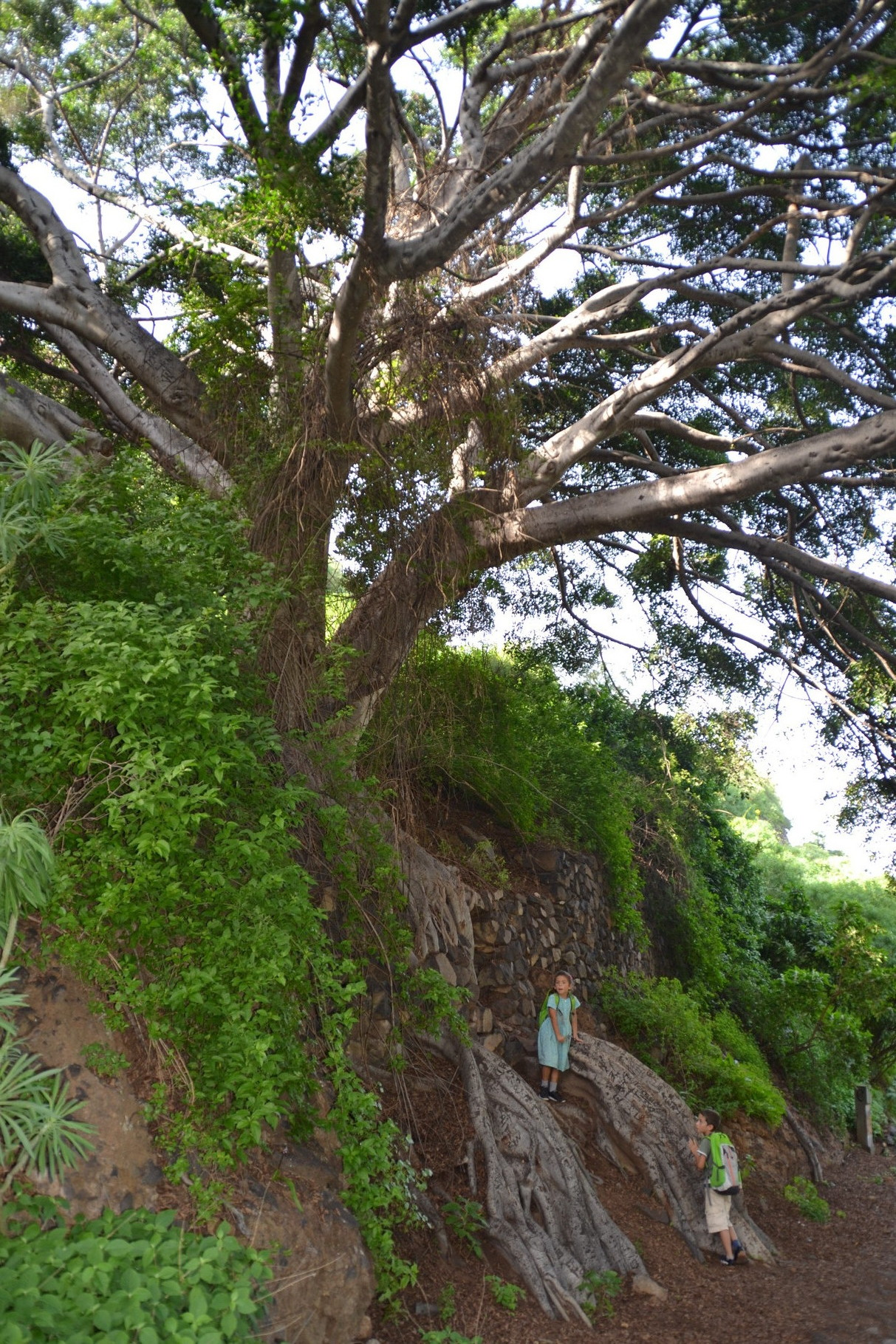 Ancient Evergreen, Tenerife