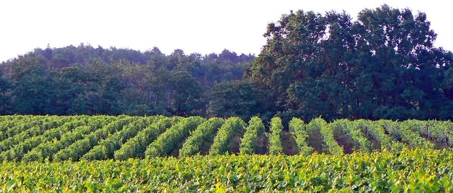 Les vignes de Mareuil