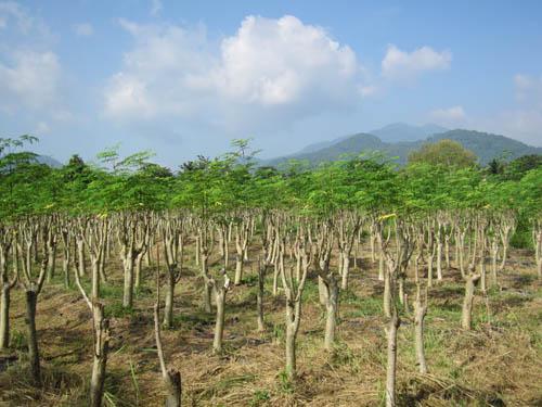 奇跡の木「モリンガ」