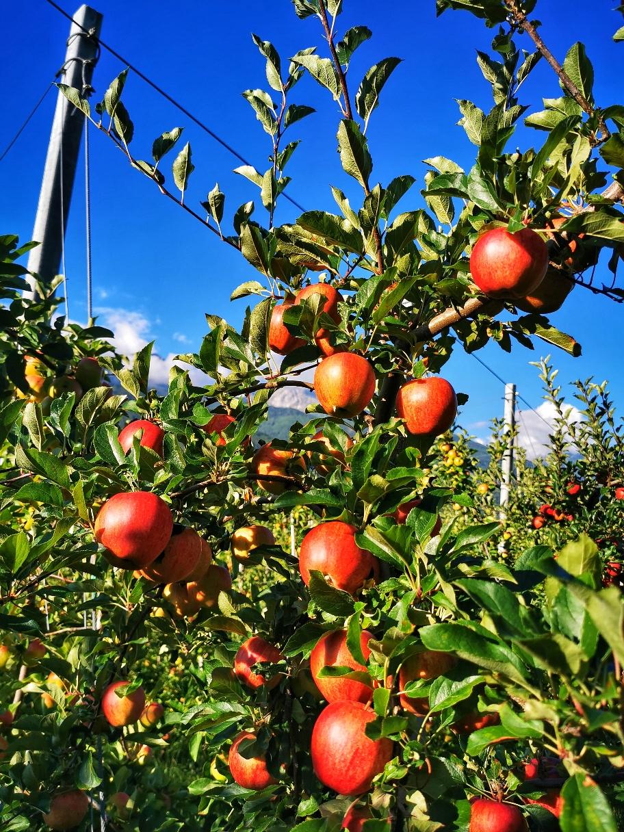 Durch Apfelplantagen geht es hinüber nach Goldrain