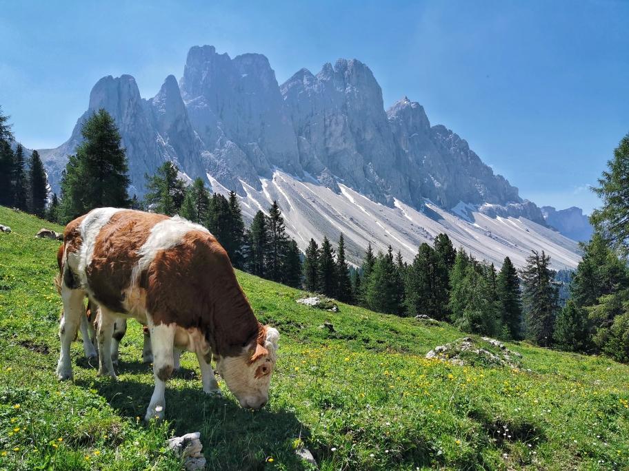 Grasende Kühe vor den Geißlerspitzen