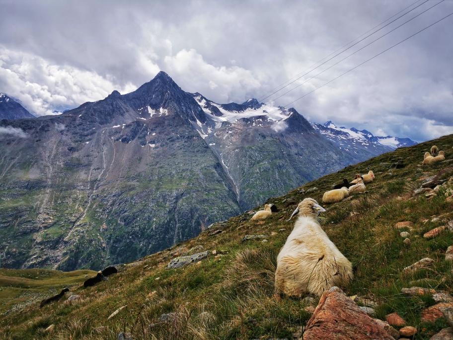 Hochalpine Schafe auf 2.800m Höhe