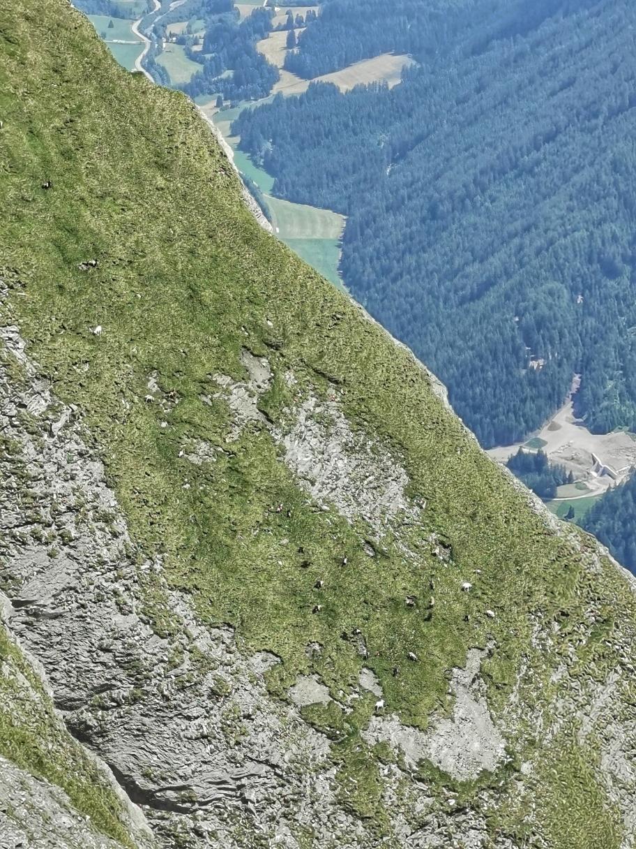 Grasende Ziegen am Steilhang der Weißspitze