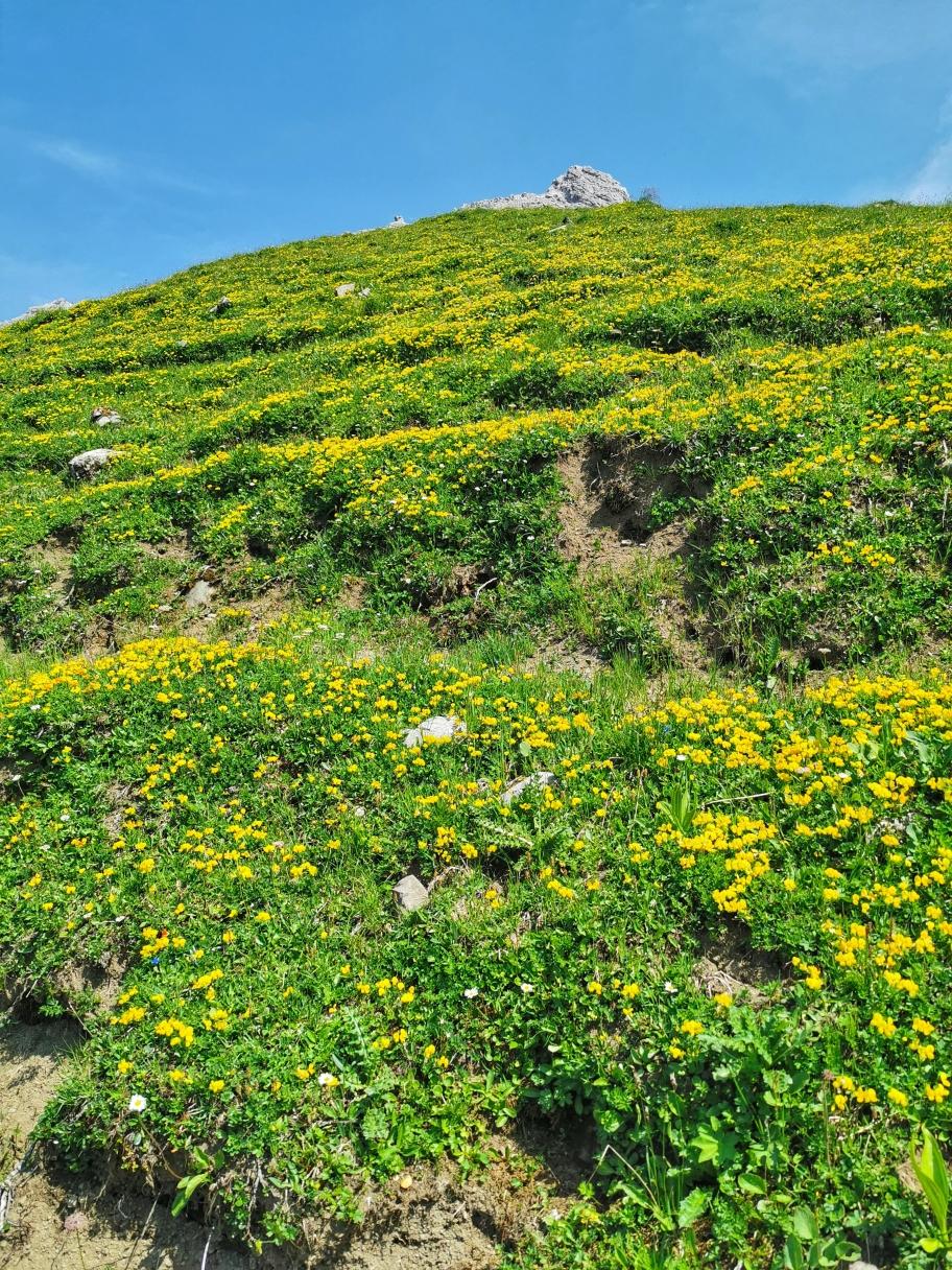 Blühende Wiesen, im Hintergrund die Spitze vom Hohen Licht