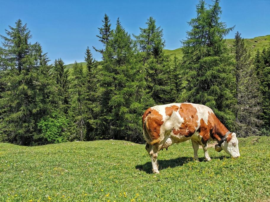 Grasende Kühe auf der Seiser Alm