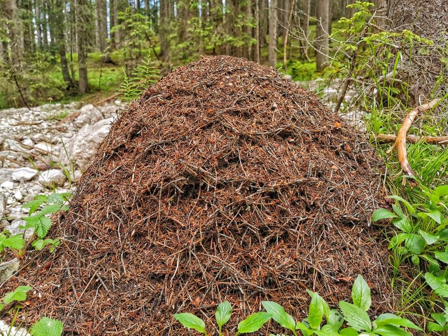 Großer Ameisenhaufen am Wegesrand