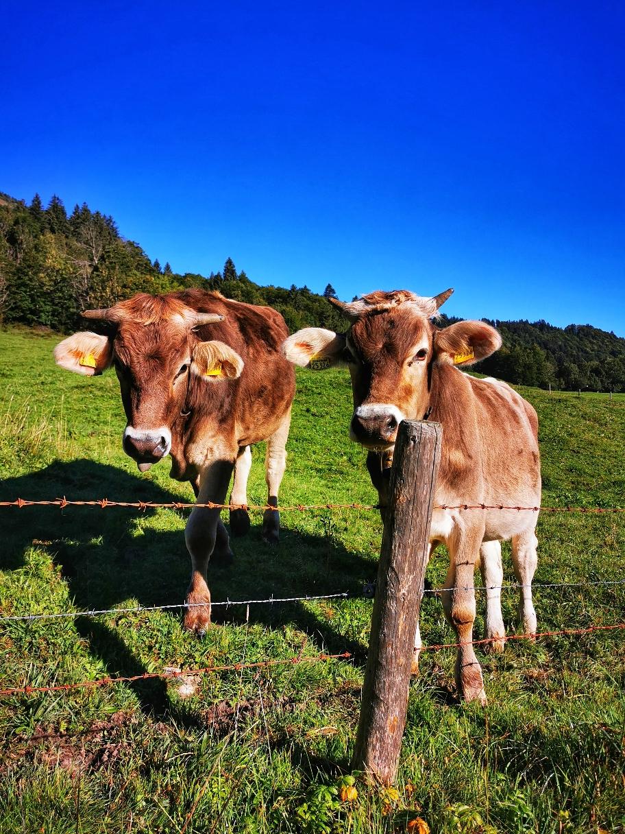 Wir passieren immer wieder Weideflächen mit neugierigen Kühen