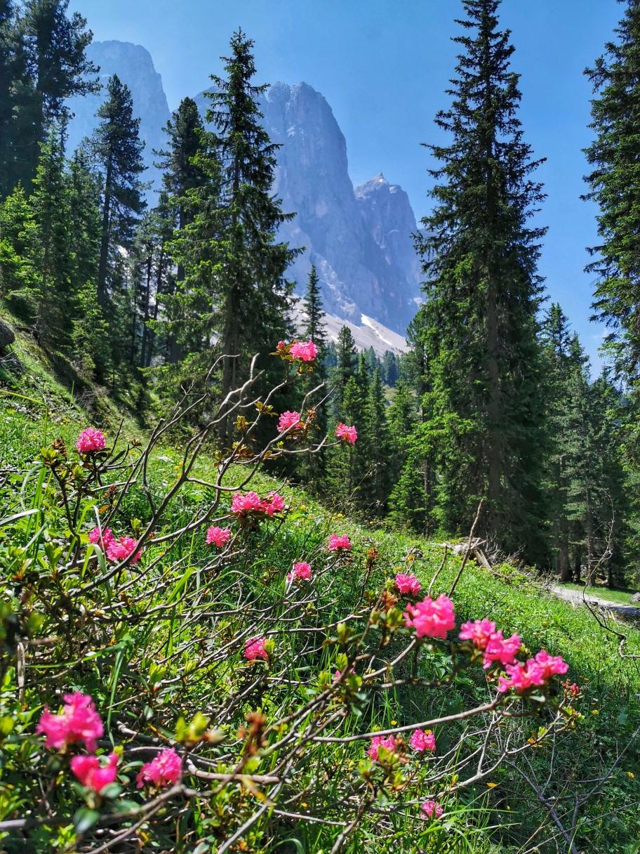 Alpenrosen am Wegesrand