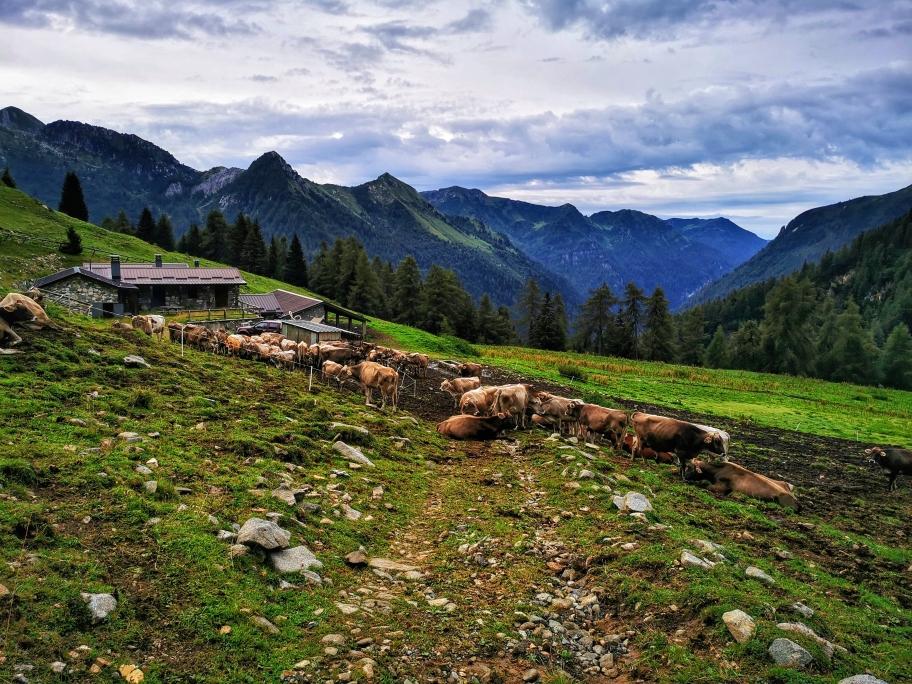 Der Weg führt mitten durch die Herde 🙈