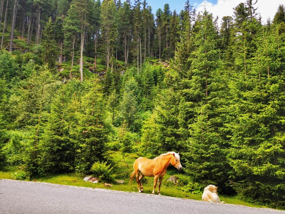 Wildpferde auf dem Weg zum Sattele