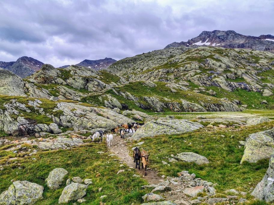 Die Herde folgt uns Richtung Gipfel