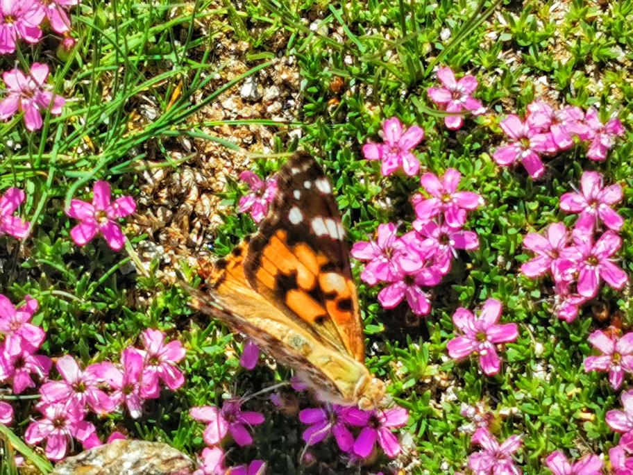 Schmetterlinge auf den schön bewachsenen Hängen