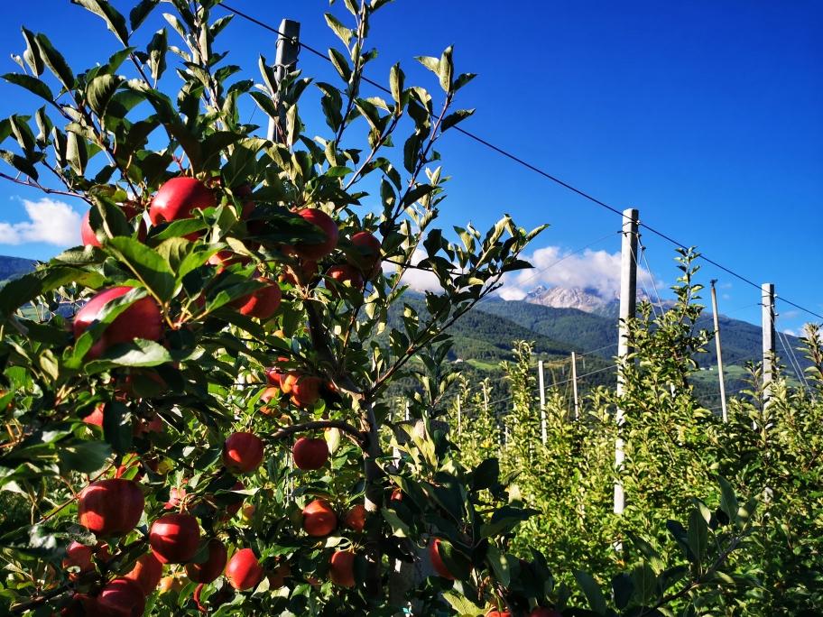 Apfelbäume soweit das Auge reicht