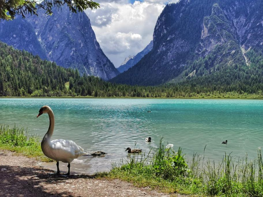 Schwäne am Toblacher See