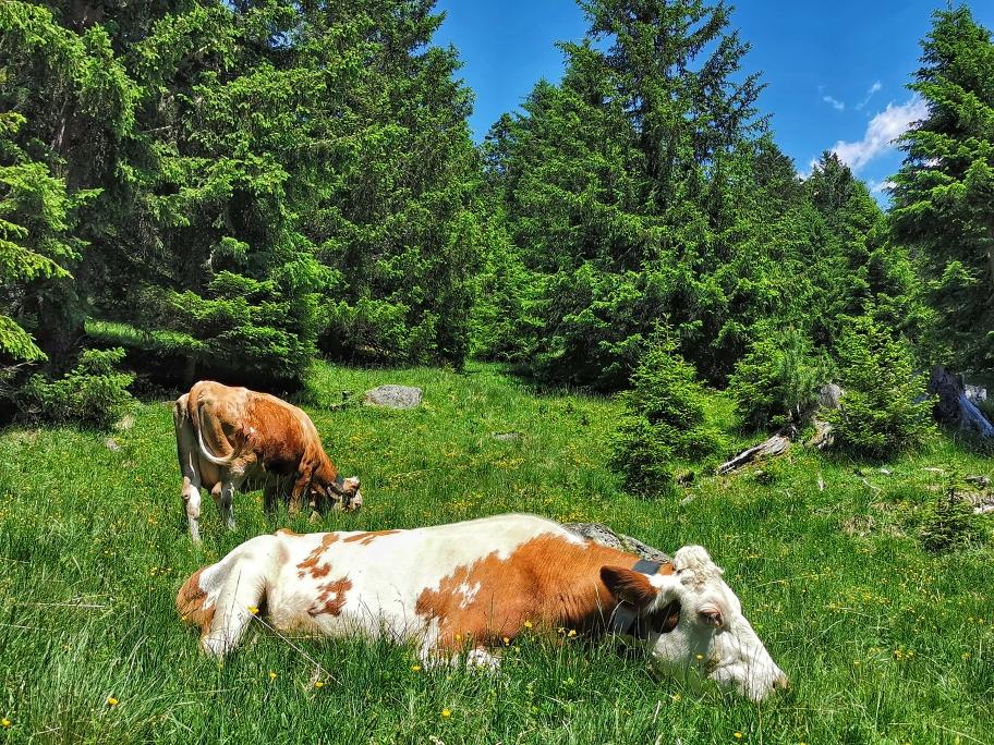 Auch die Kühe scheinen unter der Hitze zu leiden