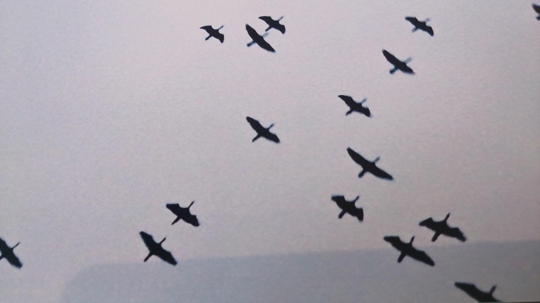 飛来するカワウの群れ