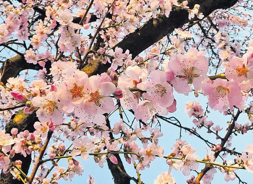 von Weihnachten bis Ende Januar: die Mandelbäume blühen