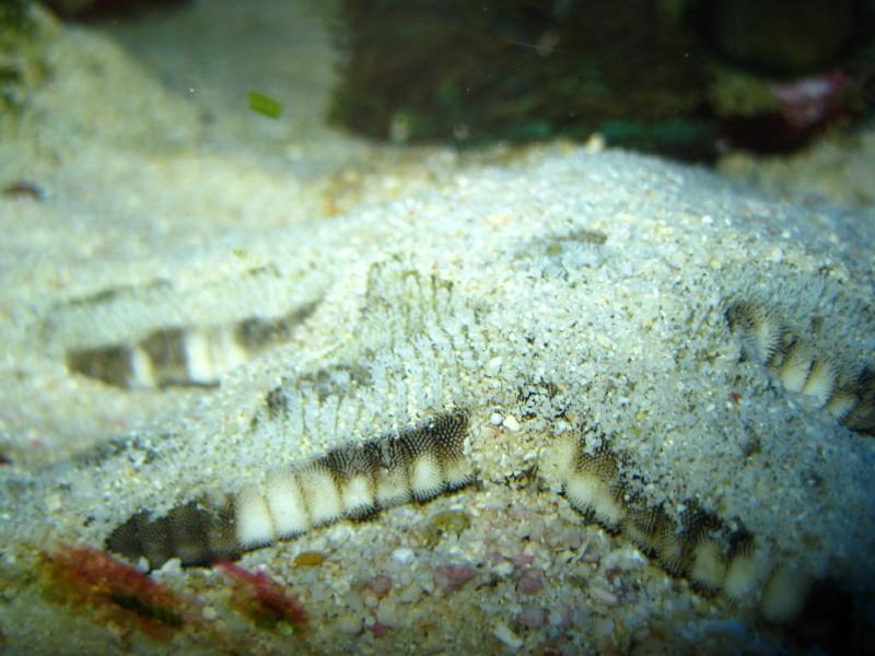 Archaster angulatus - Grabender Seestern