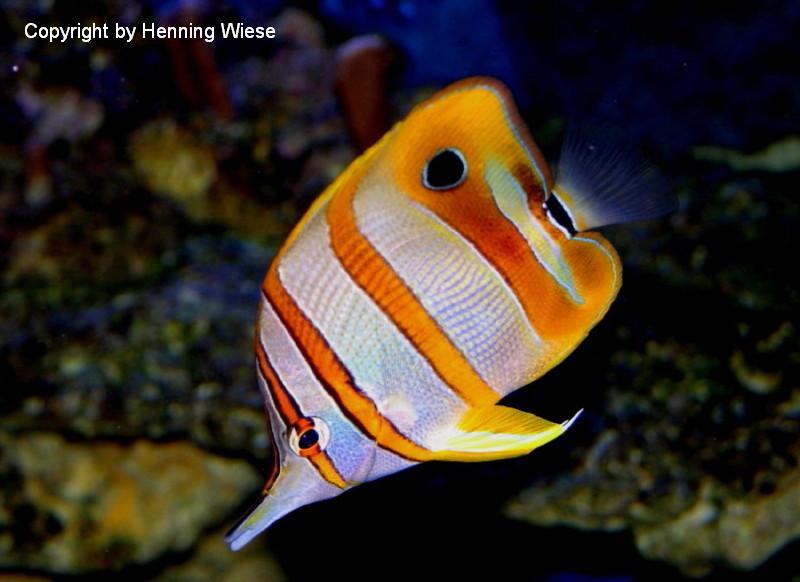 Chelmon rostratus - Orangebinden-Pinzettfisch oder Kupferbinden-Pinzettfisch