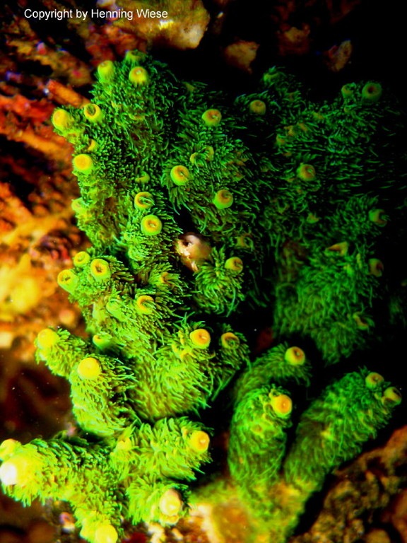 Acropora millepora - Kleinpolypige Steinkoralle