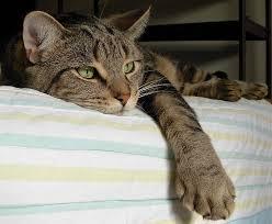 satte Katze