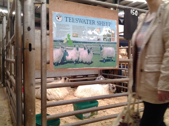 Teeswater Sheep