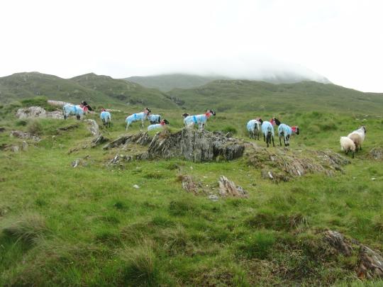 Bunte Schafe in County Mayo, Irland