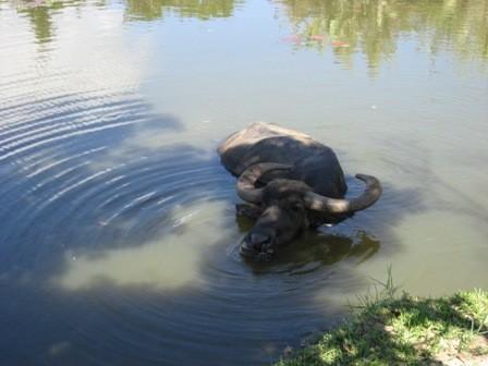 2年ぶりの水牛くん。「はいむるぶし」の池に住んでます。
