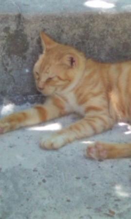 沖縄の猫も暑さにはグッタリ