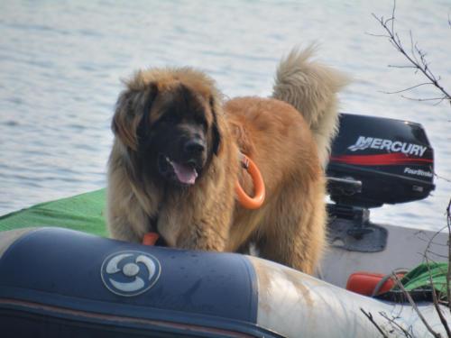 Giligan vom Bernsteinmeer hat auch einen Job als Rettungshund und wird Chico genannt.